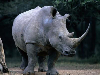 White Rhinoceros, Mkuzi Game Reserve, Mkuzi Game Reserve, Kwazulu-Natal, South Africa-Carol Polich-Photographic Print