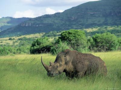 White Rhinoceros (Rhino), Ceratherium Sumum, Itala Game Reserve, Kwazulu-Natal, South Africa-Ann & Steve Toon-Photographic Print