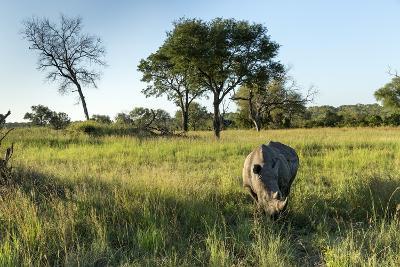 White Rhinoceros, Sabi Sabi Reserve, South Africa-Paul Souders-Photographic Print