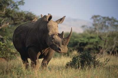 White Rhinoceros-Peter Chadwick-Photographic Print