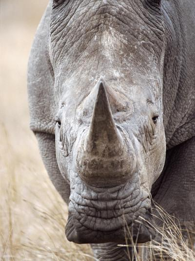 White Rhinoceros--Photographic Print