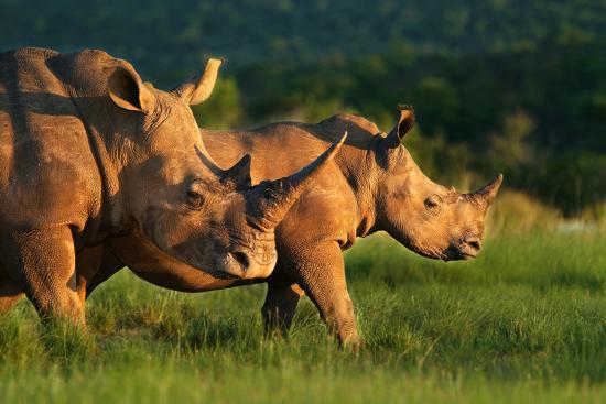 White Rhinoceros-Lantern Press-Art Print