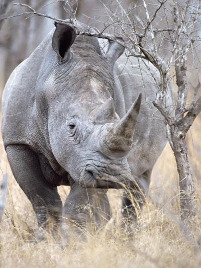 White Rhinoceroses--Photographic Print