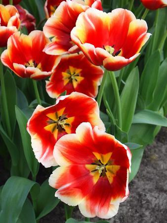 https://imgc.artprintimages.com/img/print/white-rimmed-red-tulips_u-l-q12ytrt0.jpg?p=0