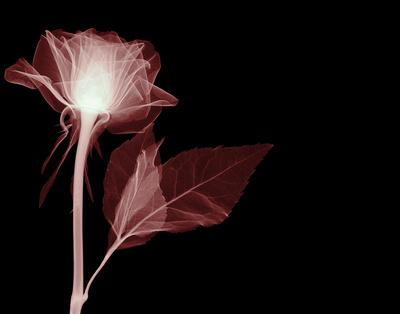 https://imgc.artprintimages.com/img/print/white-rose-glow_u-l-f5jrgs0.jpg?p=0