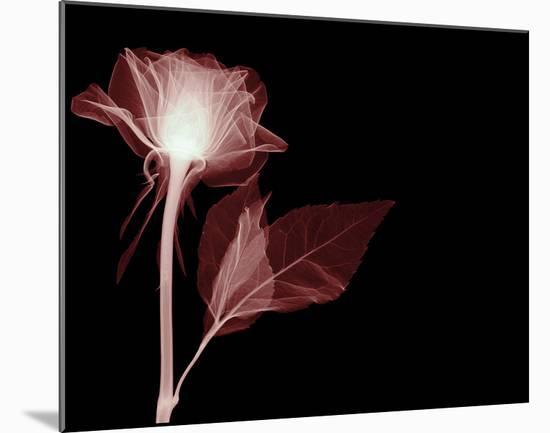 White Rose Glow-Hugh Turvey-Mounted Giclee Print