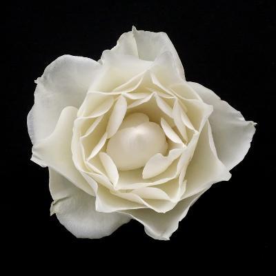 White Rose I-Jim Christensen-Photographic Print