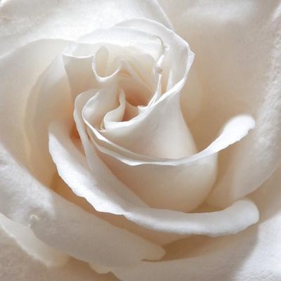 https://imgc.artprintimages.com/img/print/white-rose-ii_u-l-q11ufb40.jpg?p=0