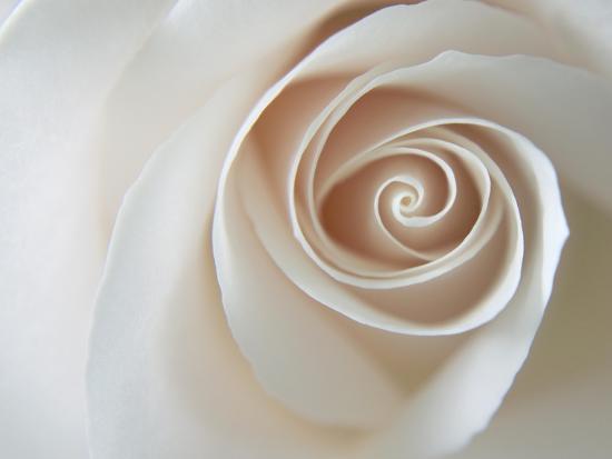 White Rose Swirl-Karen Ussery-Premium Giclee Print