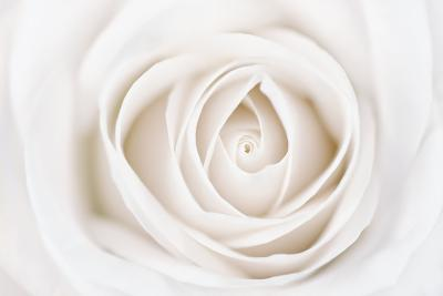 White Rose-Cora Niele-Photographic Print