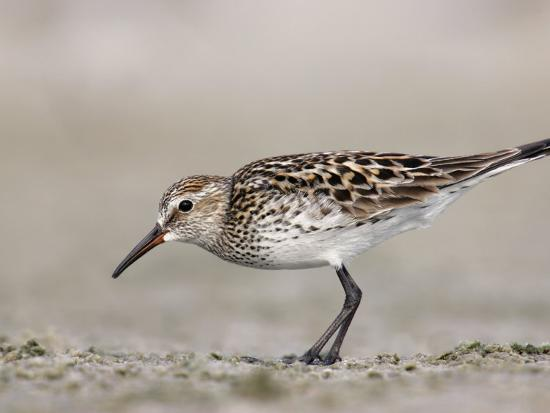 White-Rumped Sandpiper in Breeding Plumage (Calidris Fuscicollis) Florida, USA-Arthur Morris-Photographic Print