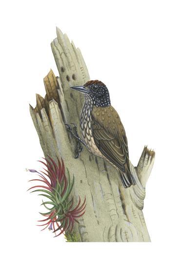 White-Scaled Piculet (Picumnus Albosquamatus), Birds-Encyclopaedia Britannica-Art Print