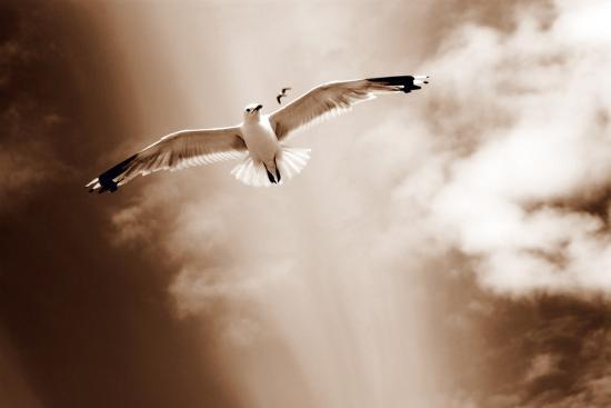 White Sea Gulls Flying over the Dunes in the Sky in Rich Sepia Tones-Alaya Gadeh-Photographic Print