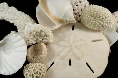 White Seashells, Sand Dollar, and Coral from around the World-Cindy Miller Hopkins-Photographic Print
