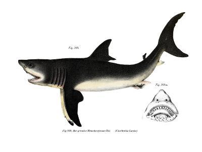 White Shark--Giclee Print