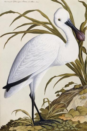 White Spoon Bill, 1750-1800--Giclee Print