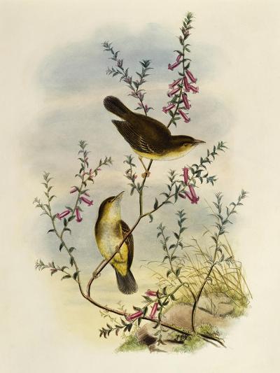 White Spotted Flycatcher (Pseudogerygone Notata)--Giclee Print