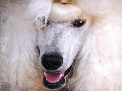 https://imgc.artprintimages.com/img/print/white-standard-poodle-portrait_u-l-pu0p0i0.jpg?p=0