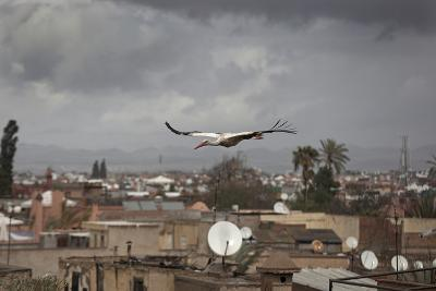 White Stork (Ciconia Ciconia) in Flight over City Buildings. Marakesh, Morocco, March-Ernie Janes-Photographic Print