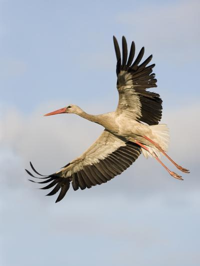 White Stork (Ciconia Ciconia) in Flight, Rusne, Nemunas Regional Park, Lithuania, June 2009-Hamblin-Photographic Print