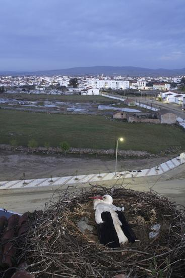 White Stork (Ciconia Ciconia) in Nest Overlooking Town-Jose B. Ruiz-Photographic Print