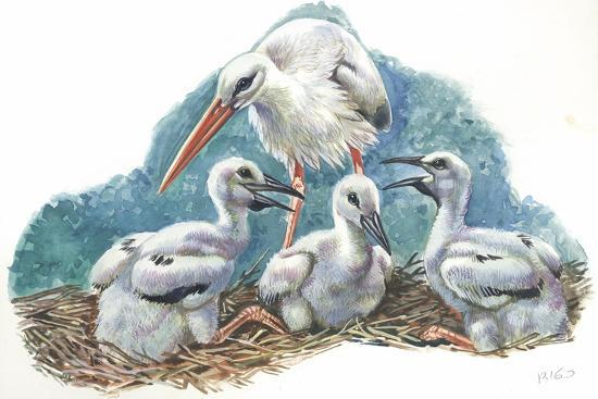 White Stork Ciconia Ciconia in Nest with Youngs--Giclee Print