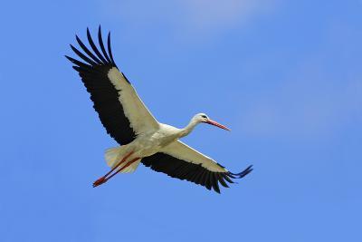 White Stork in Flight--Photographic Print