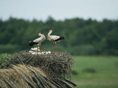 White Storks Displaying in Their Nest with Chicks-Klaus Nigge-Photographic Print