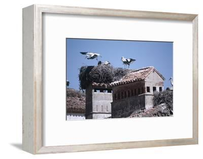 White Storks Nesting on Buildings (Ciconia Ciconia) Spain