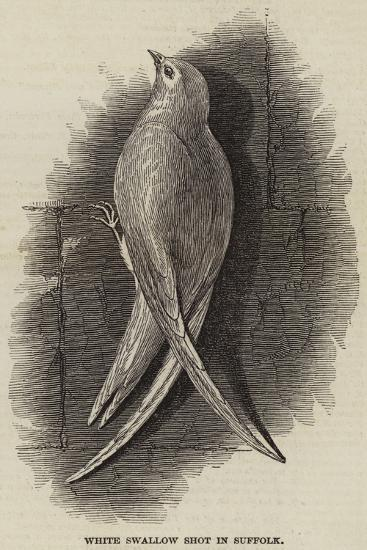 White Swallow Shot in Suffolk--Giclee Print