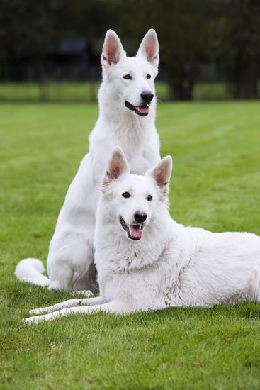 White Swiss Shepherd Dog Pair--Photographic Print
