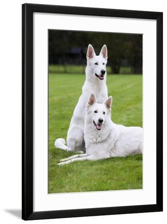 White Swiss Shepherd Dog Pair--Framed Photographic Print