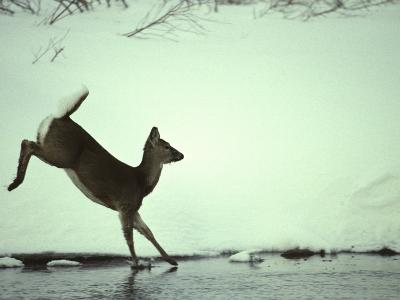 White Tail Deer Doe Runs in River, Island Park, Idaho-Michael S^ Quinton-Photographic Print