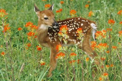 White-Tail Deer Fawn in Orange Paintbrush Wild--Photographic Print