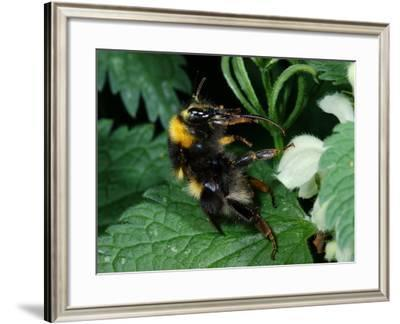 White-Tailed Bumblebee, Adult Worker Feeding Showing Long Tongue, Cambridgeshire, UK-Keith Porter-Framed Photographic Print