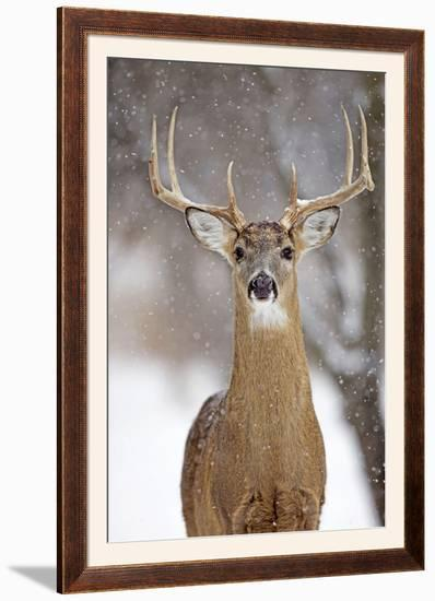 White-Tailed Deer Buck in Winter Snow--Framed Photographic Print