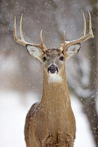 White-Tailed Deer Buck in Winter Snow