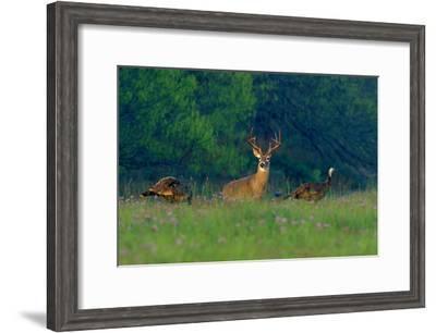 White-Tailed Deer Buck with Rio Grande Wild Turkeys--Framed Photographic Print