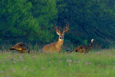 White-Tailed Deer Buck with Rio Grande Wild Turkeys--Photographic Print