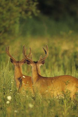 https://imgc.artprintimages.com/img/print/white-tailed-deer-bucks-in-velvet-tennessee_u-l-q13bk2t0.jpg?p=0