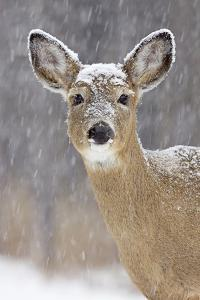 White-Tailed Deer Doe in Winter Snow