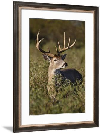 White-tailed Deer dominant male-Larry Ditto-Framed Premium Photographic Print