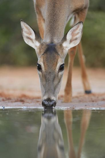 White-tailed Deer drinking, South Texas, USA-Rolf Nussbaumer-Premium Photographic Print