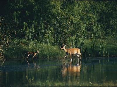White-Tailed Deer Enjoy Year-Round Asylum at the Aransas Refuge in Coastal Texas-Farrell Grehan-Photographic Print