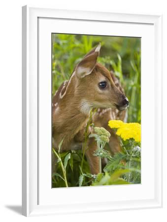 White-Tailed Deer Fawn in Wildflowers and Tall Grass Minnesota Spring Captive-Design Pics Inc-Framed Photographic Print