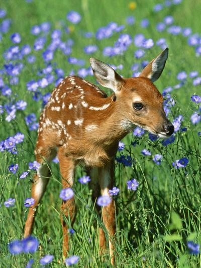 White-Tailed Deer Fawn--Photographic Print
