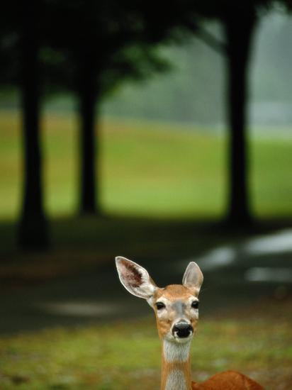 White-Tailed Deer Foraging on Grass-Raymond Gehman-Photographic Print