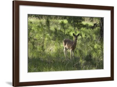 White-Tailed Deer in a Forest of the Black Hills, South Dakota--Framed Photographic Print