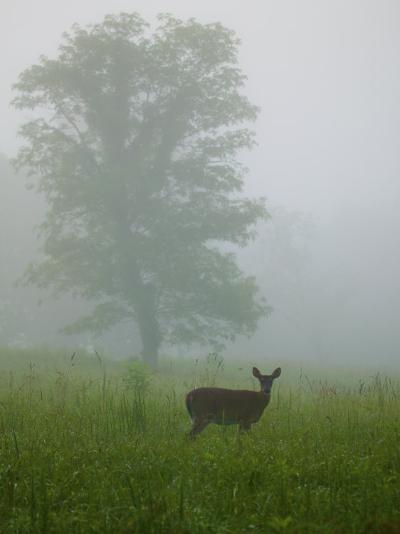 White-Tailed Deer in Cades Cove-Michael Melford-Photographic Print
