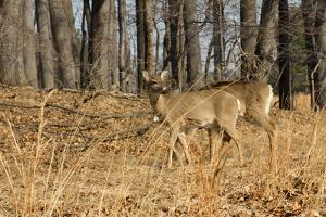 White-Tailed Deer in Late Winter, Pennsylvania